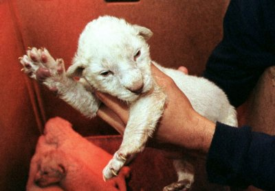 Rare albino lion cub