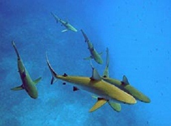 More Than 90 Percent of Reef Sharks Have Declined in Pacific Ocean