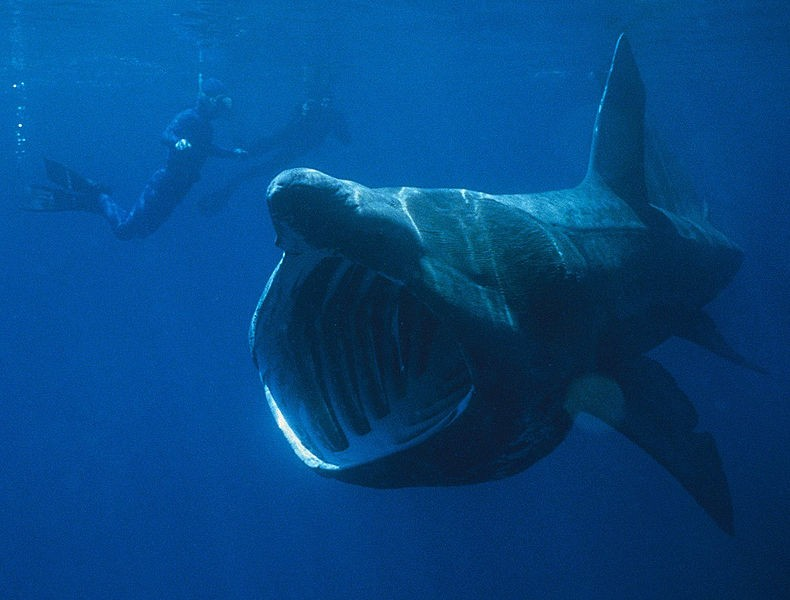 Basking Shark Spotted off Plymouth, British Public Asked ...