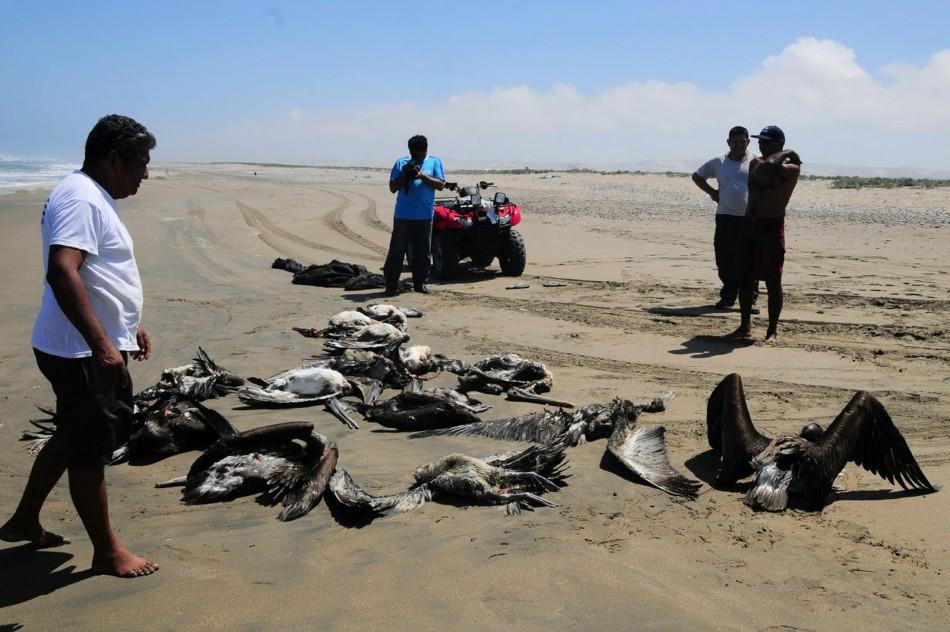 Dolphins, Birds Die in Staggering Numbers on Peru Beach