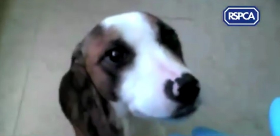 The videos released by the RSPCA show graphic footage of animal cruelty. (RSPCA)