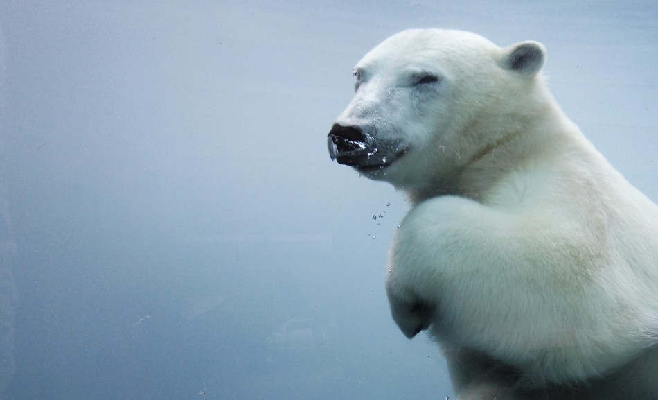 Research have found some bears are swimming more than 400 miles to find ice caps (Reuters)