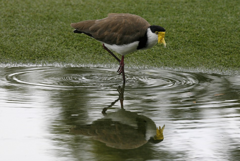 A masked lapwing