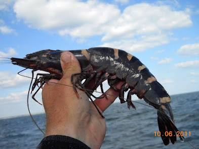 Rise in Asian Tiger Shrimp May Pose Invasive Threat on Native Species