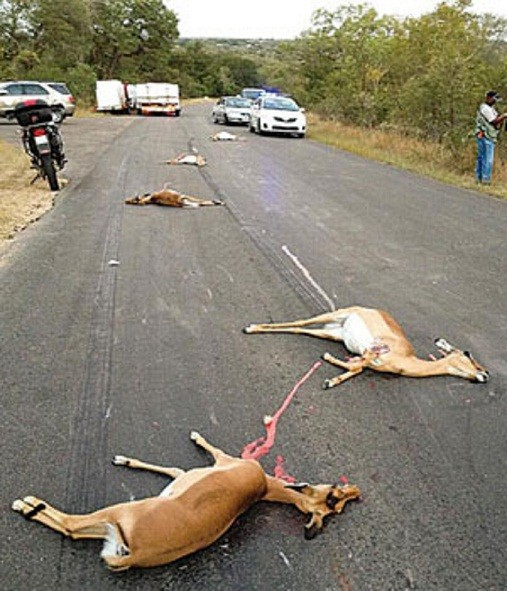 The driver of a delivery truck who collided with a herd of impala at the Kruger Gate -- resulting in the deaths of at least seven impala (SANparks)