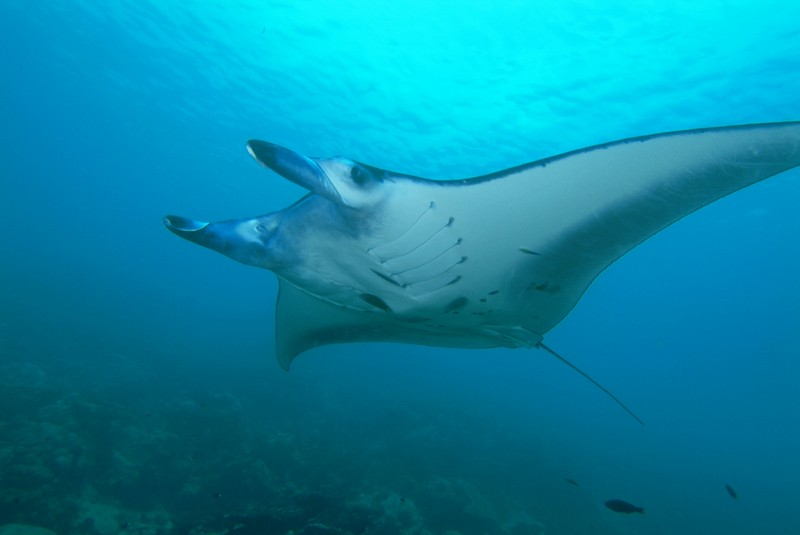 Satellite Tags Reveals Mysterious Manta Ray's Habits and Its Secret Journey