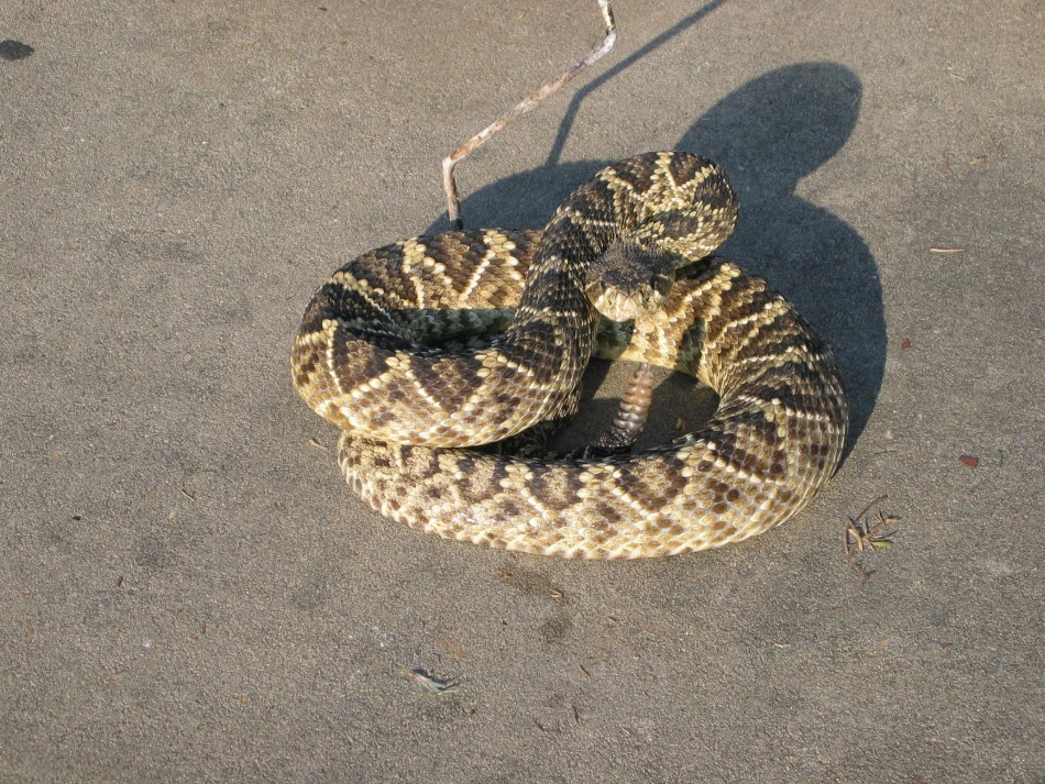 An eastern diamondback rattlesnake