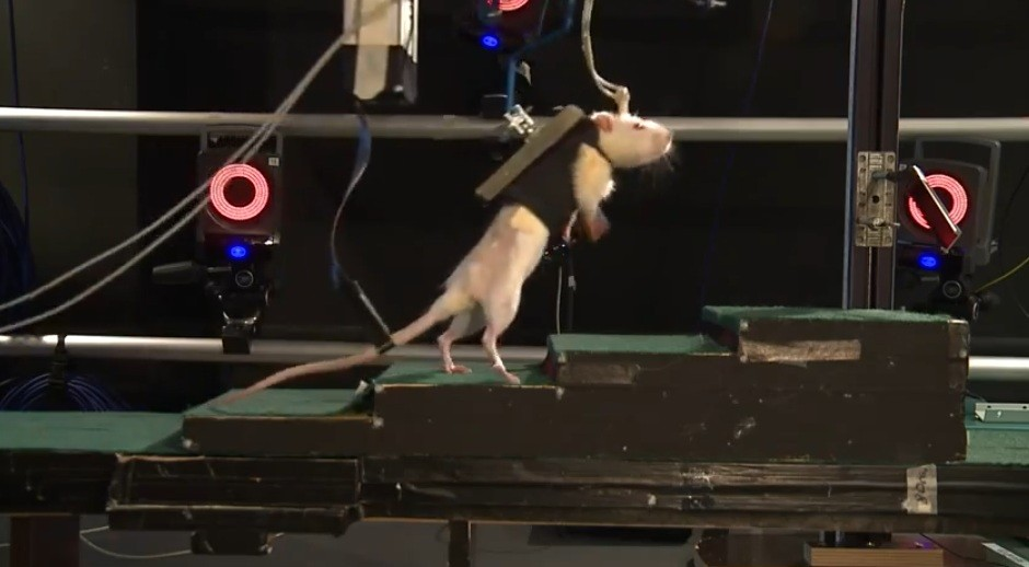 Scientists have used a technique to help paralysed rats walk again (YouTube/EPFL)
