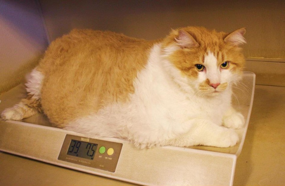 Meet Garfield: World's Fattest Cat, as Lazy as Cartoon Namesake ... Fattest Animal In The World