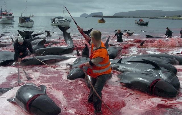 Denmark's Faroe Islands Observes Grindadrap Tradition of Mass Whale Killing on Environment Day
