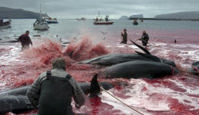 Denmarks Faroe Islands Observes Grindadrap Tradition of Mass Whale Killing on Environment Day