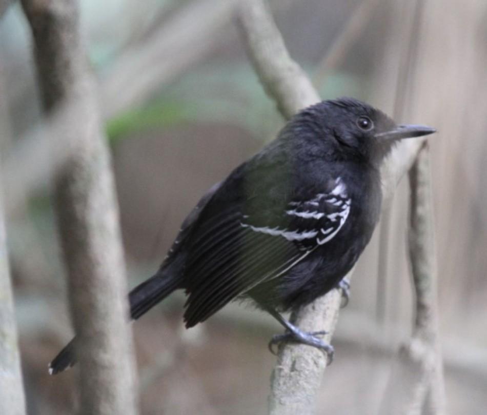 Rio Branco Antbird (Cercomacra carbonaria)