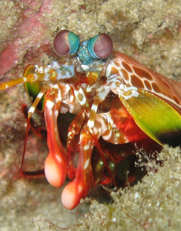 Club-Like Arm of Mantis Shrimp Could Help In Aircraft Frames Construction