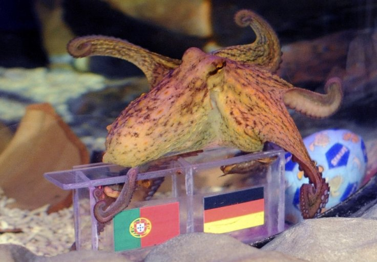 Octopuses Paulus swims over boxes with the flags of Germany and Portugal to predict the winner between the two teams' Euro 2012 soccer match, in Porto's city Sea Life Aquarium