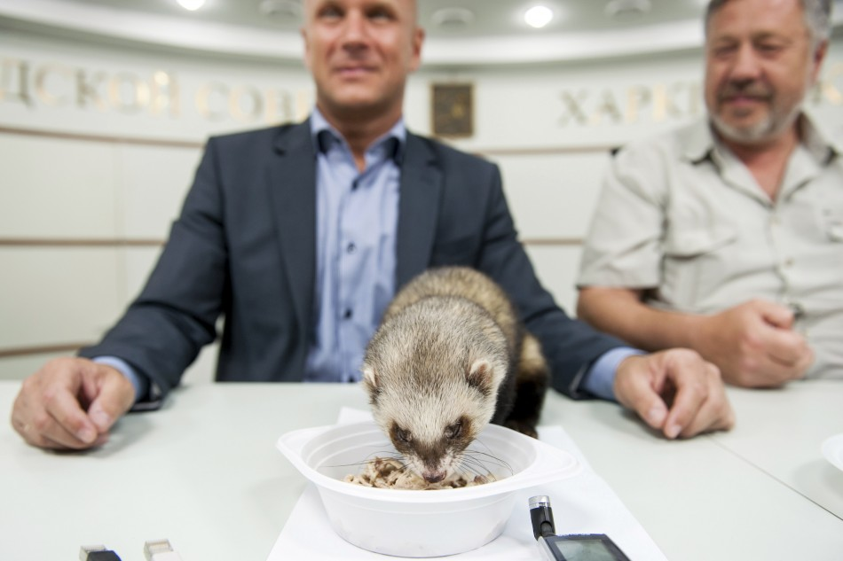 Ferret Fred has a meal with Alexander Popov and Alexei Grigoryev during a news conference in Kharkiv