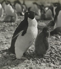 Nearly 100 Years Old Study About Penguins Sexual Lives Is Finally Published