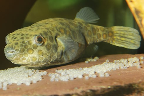 Origin of the Unusual Beaks of Pufferfishes Discovered