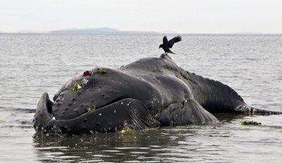 Young Humpback Whale with Heavy Nylon Line in its Mouth Washes up Alive at British Columbia Coast, Dies Soon After