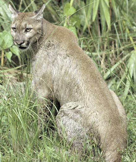 Cougars Are Spreading Across Midwest, Says Researchers