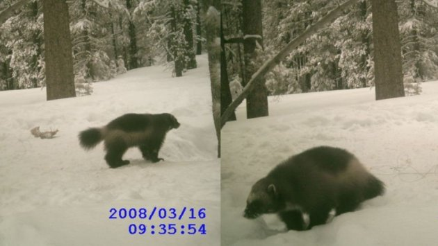 A 2008 sighting of a wolverine, the third, in the Tahoe National Forest, courtesy of the California Fish and Game Department of Forestry. (Photo: California Fish and Game Depar)
