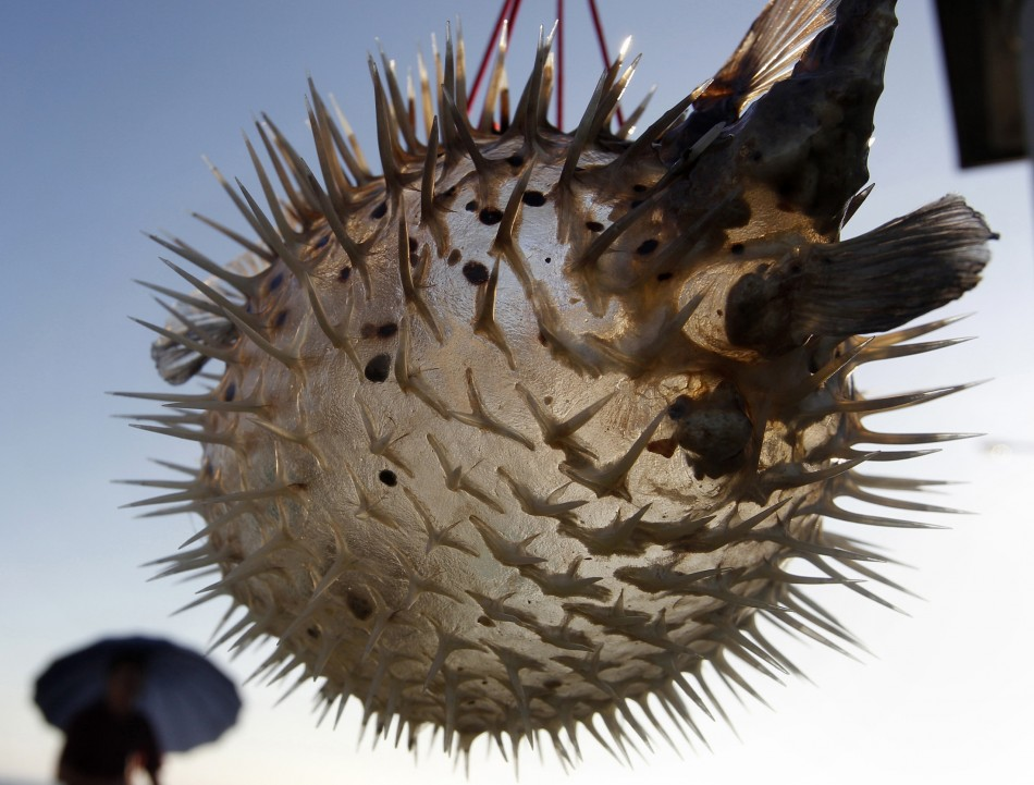 Blowfish Poisoning Suspected In Death Of Canada U0026 39 S Belanger Sisters  The World U0026 39 S Deadliest Foods