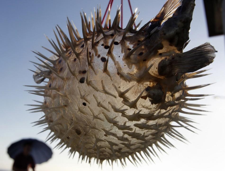 Blowfish (Fugu)