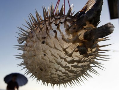 Blowfish Fugu