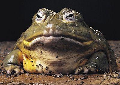 Giant Bullfrog