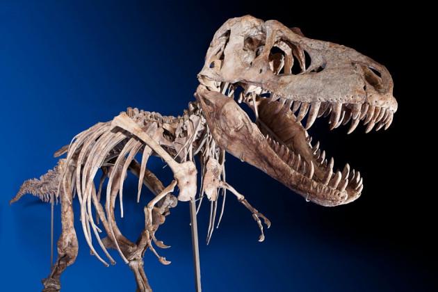 Tyrannosaurus Bataar Dinosaur Skeleton