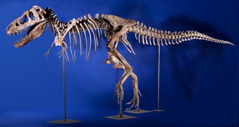 Skeleton of Tyrannosaurus Bataar Dinosaur