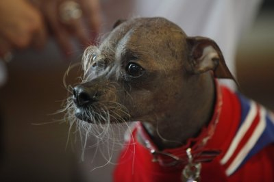 Worlds Ugliest Dog 2012 Mugly