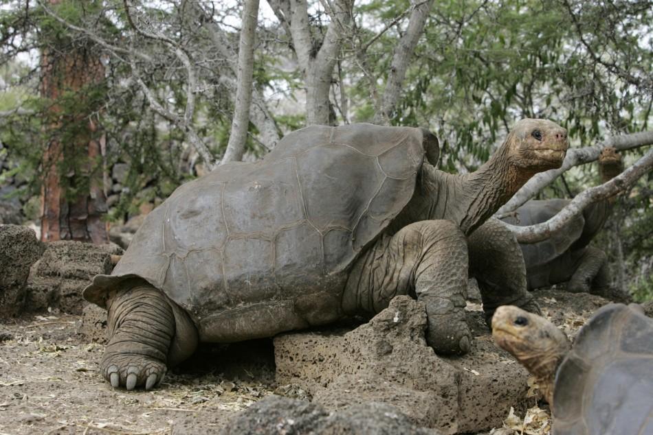 Lonesome George, Last Giant Galapagos Tortoise, Dies Prematurely ...