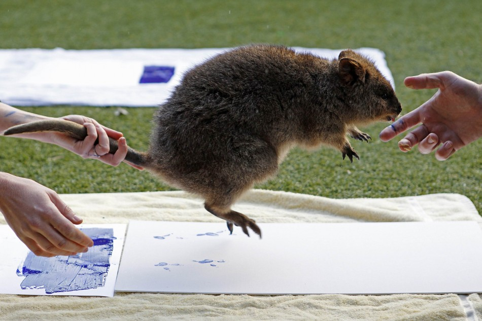 Zookeepers take the footprints of a Quokka at Taronga Zoo in Sydney