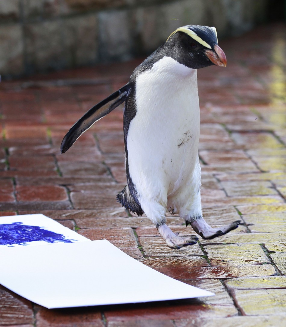A penguin fails in its first attempt to leave its footprint on a white canvas at Taronga Zoo in Sydney