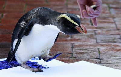 A penguinleaves its footprints on a white canvas at Taronga Zoo in Sydney
