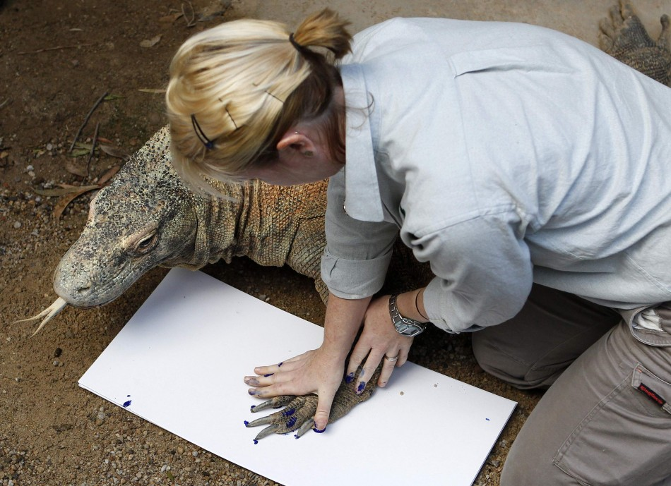 A zookeeper takes the footprint of Komodo dragon quotTukaquot at Taronga Zoo in Sydney