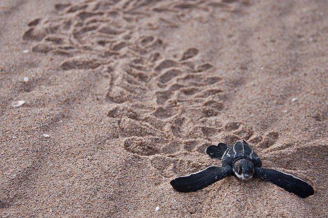 Climatic Change Could Wipe Out Existing Leatherback Turtle Species