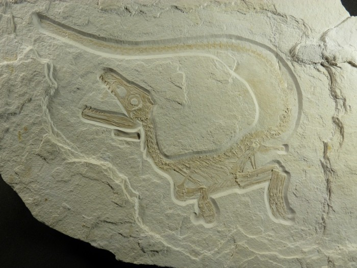 New Species of Feathered Dinosaur Discovered
