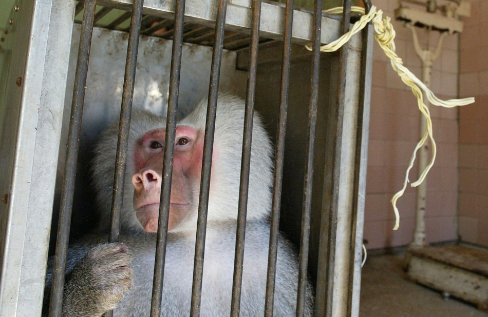 caged primate
