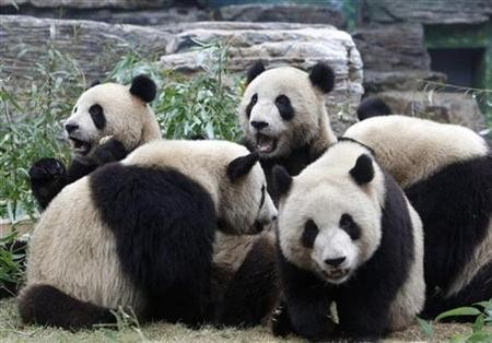 Pandas at a zoo in southern China