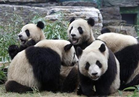 Pandas at a zoo in southern China