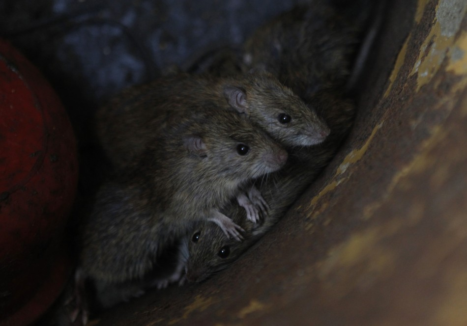 Rats could be flushed out of the sewers into people's homes