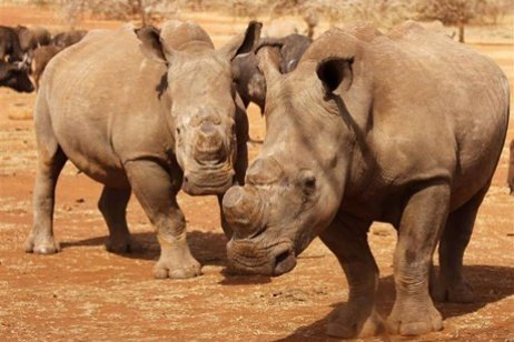 Dehorned rhinos are seen at the Kruger national park (Reuters)