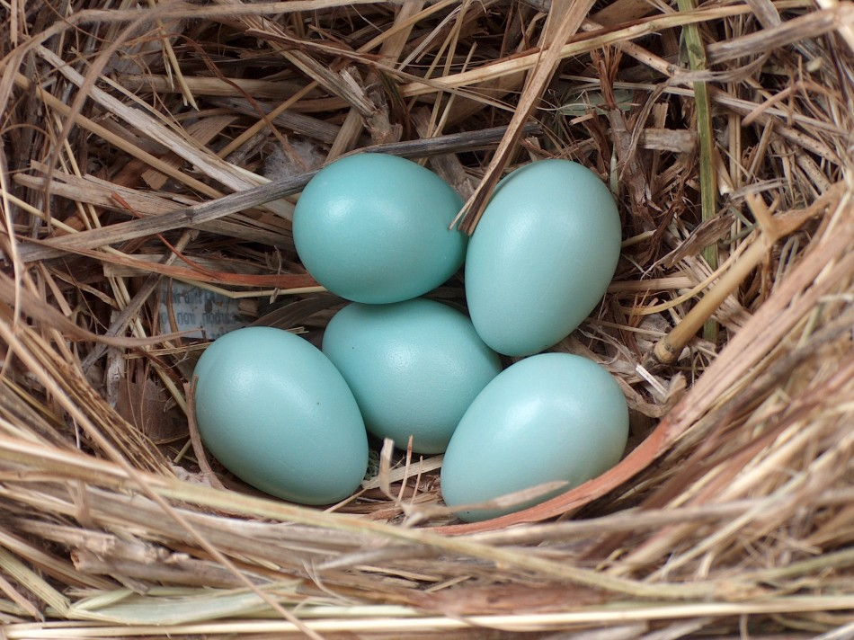 Decline in Starlings