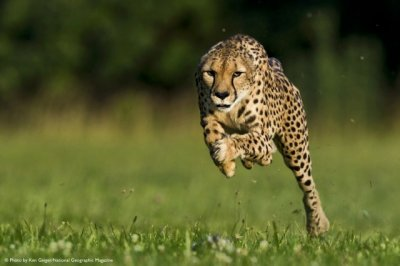 Sarah the Fastest Cheetah Sets New World Land Speed Record