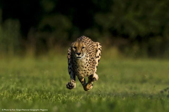 Sarah the Fastest Cheetah Sets New World Land Speed Record