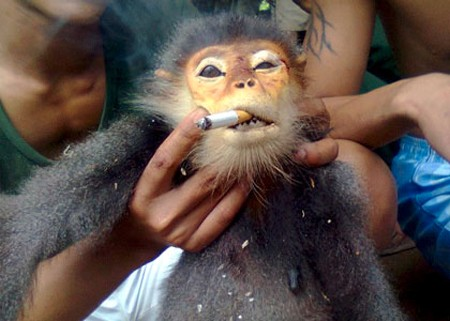 A Grey-shanked douc langur forced to smoke