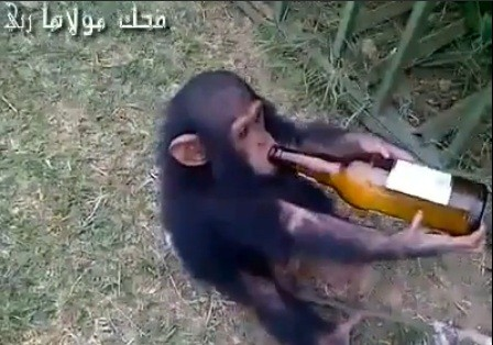 Alcoholic Baby Chimp