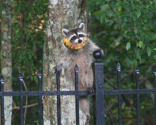 Nazi Racoons Invade Germany And Threaten To Conquer Uk