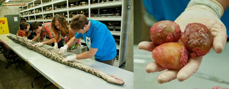 Researchers (L) examine the internal anatomy of a 17.5 feet long Burmese python weighing 164.5 pounds. The python was found pregnant with 87 eggs (R). (Photo: Kristen Grace/Florida Museum)